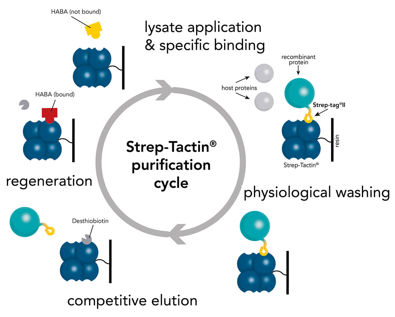 Strep-Tactin® protein purification cycle