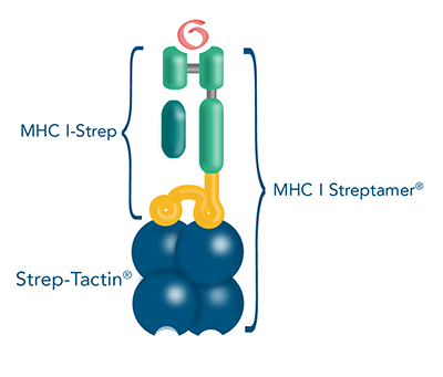 MHC I-Streps are MHC I-peptide complexes fused to a Twin-Strep-tag®