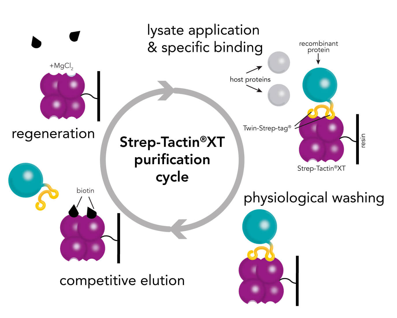 Strep-Tactin®XT protein purification cycle