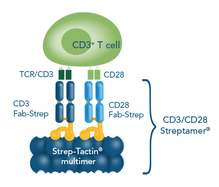 Cell expansion with CD3/CD28 Streptamer