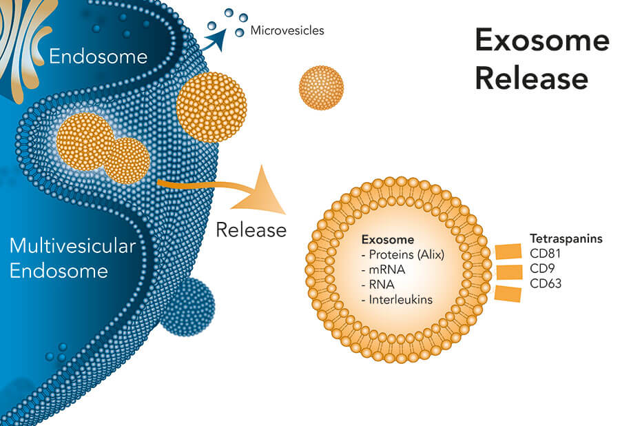 Exosomes are released by cells and identified by the tetraspanins CD9, CD81 and CD63