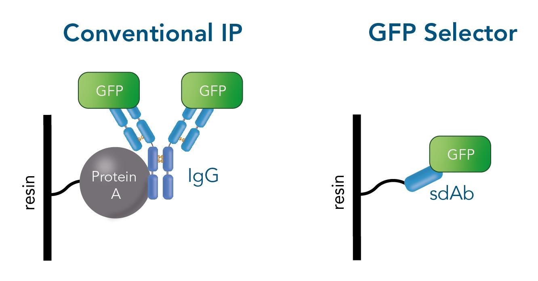 Conventional IP using antibodies versus IP with Selector Resins