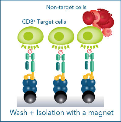 Antigen-specific cells are isolated with a magnet
