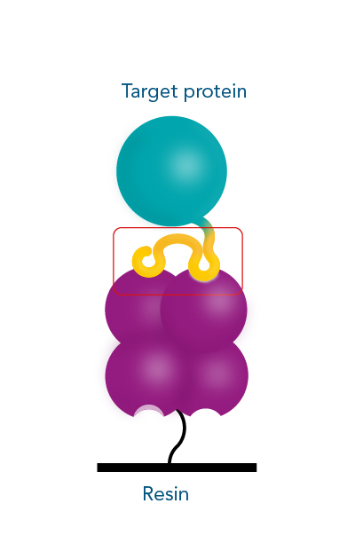 Protein purification with Strep-tag® technology