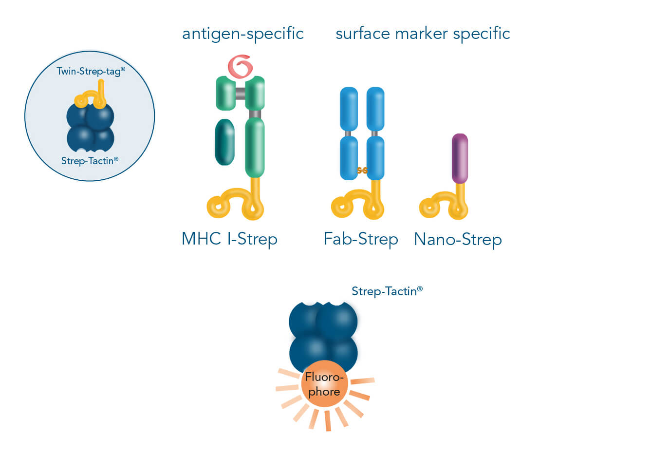 Strep-tag cell staining possibilities