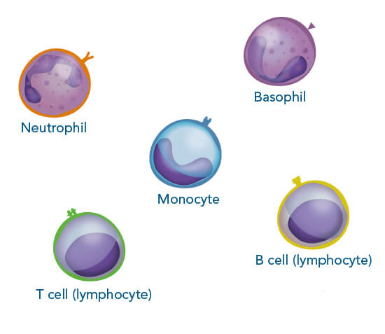 Immune cells commonly found in human blood