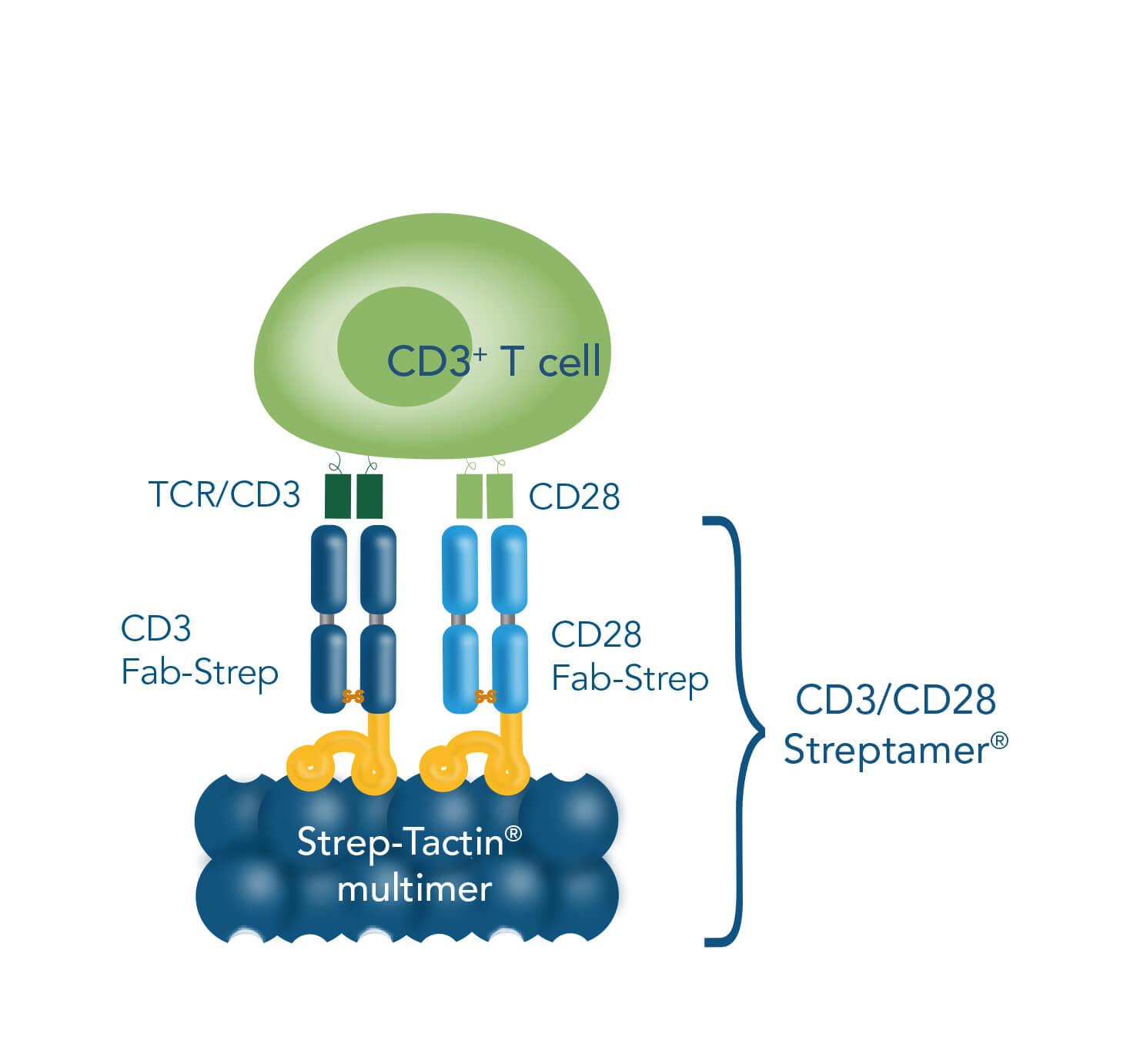 Methods for T cell stimulation & expansion CD3/CD28 Streptamer