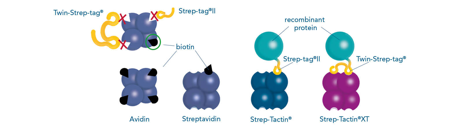 Binding patterns of Strep-tag®II, Twin-Strep-tag® and biotin