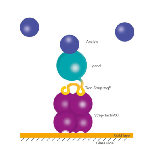 Capturing Twin-Strep-tag® proteins with BiacoreTM