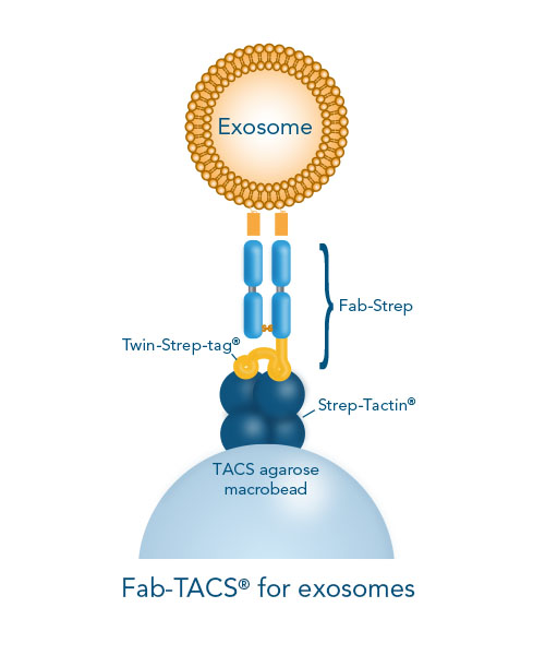 Exosomes are isolated by loading surface marker-specific Fab-Streps on Strep-Tactin® coated agarose inside columns