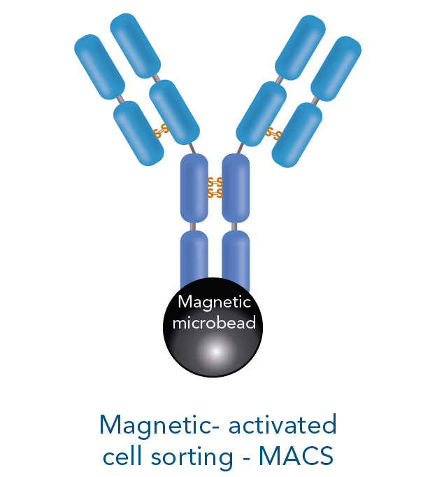 magnetic-activated cell sorting
