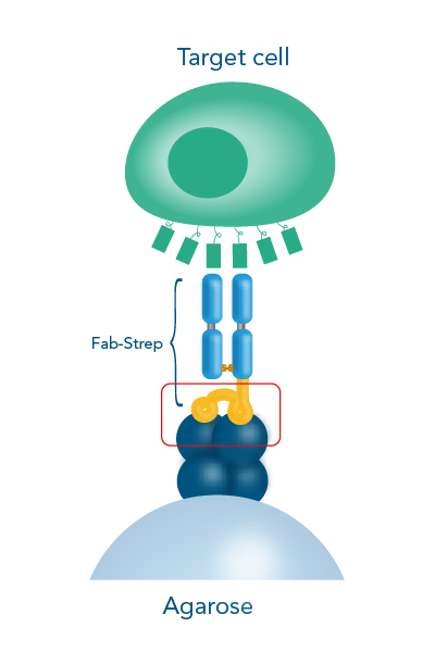 Cell isolation with Strep-tag® technology