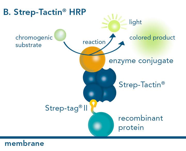 Horse-radish peroxidase conjugated to Strep-Tactin®