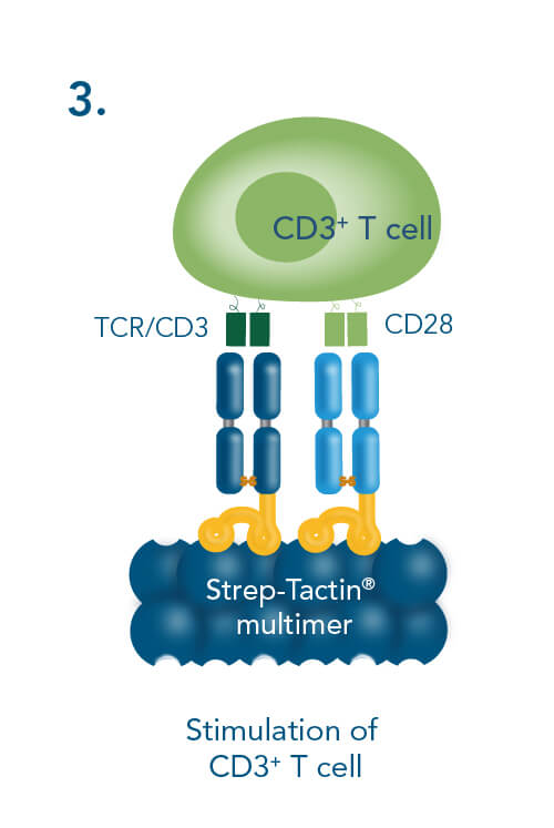 Stimulation of CD3+ T cell