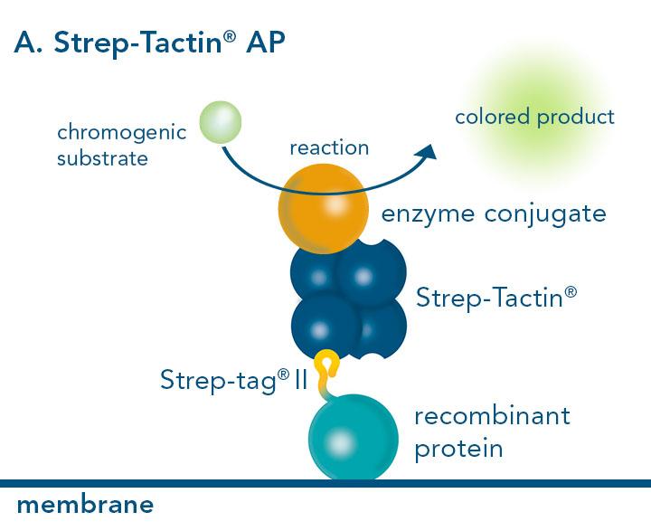 Alkaline phosphatase conjugated to Strep-Tactin®