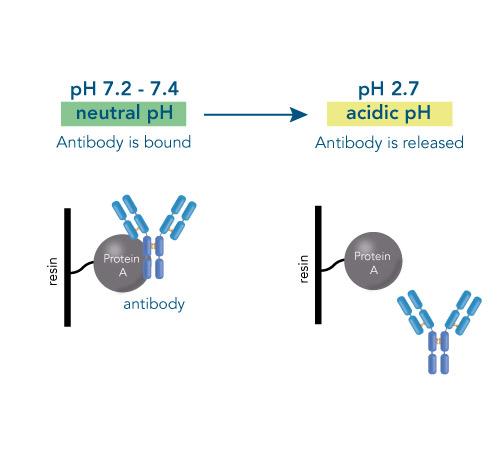 Antibody binding and release
