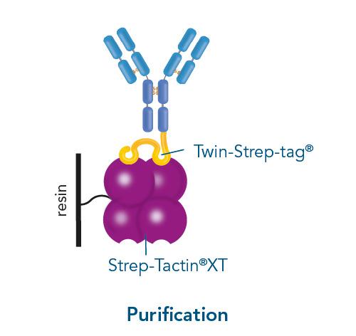 Strep-Tactin XT antibody purifcation