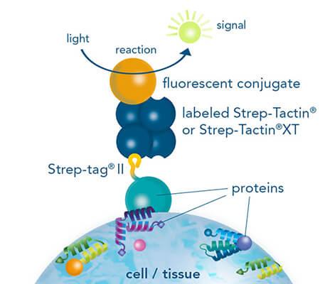 Immunohistochemistry/-cytochemistry using fluorescently labeled Strep-Tactin®