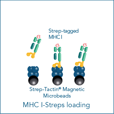 Loading of MHC I-Streps for antigen-specific cell isolation