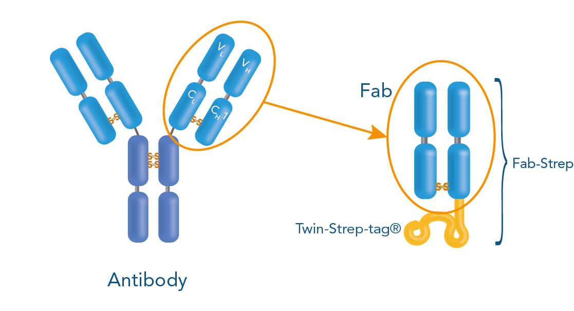 Fab-Streps are derived from conventional antibodies
