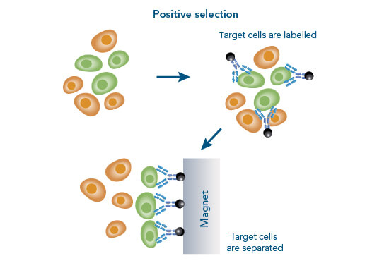 Principle of positive cell isolation