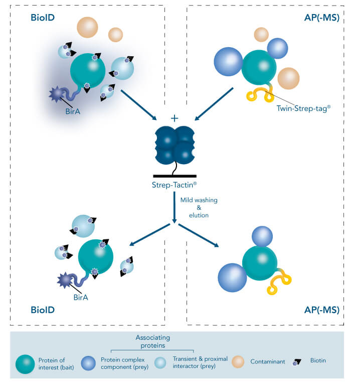 Scheme using affinity purification-mass spectrometry (AP-MS) or proximity-dependent biotin identification (BioID)
