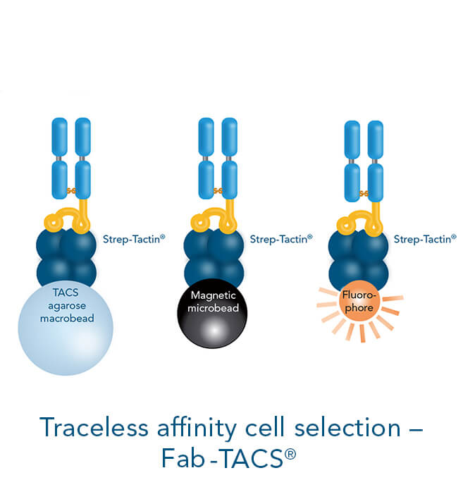 Positive cell isolation methods with traceless affinity cell selection