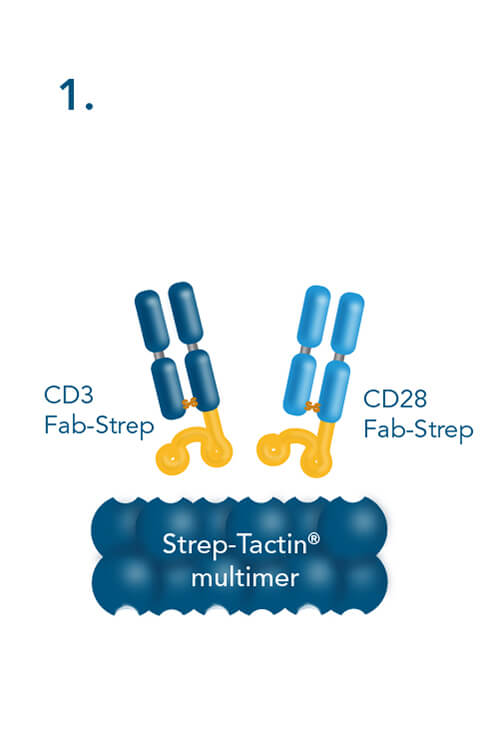 combining CD3- and CD28-Fab Streps with Strep-Tactin® multimers